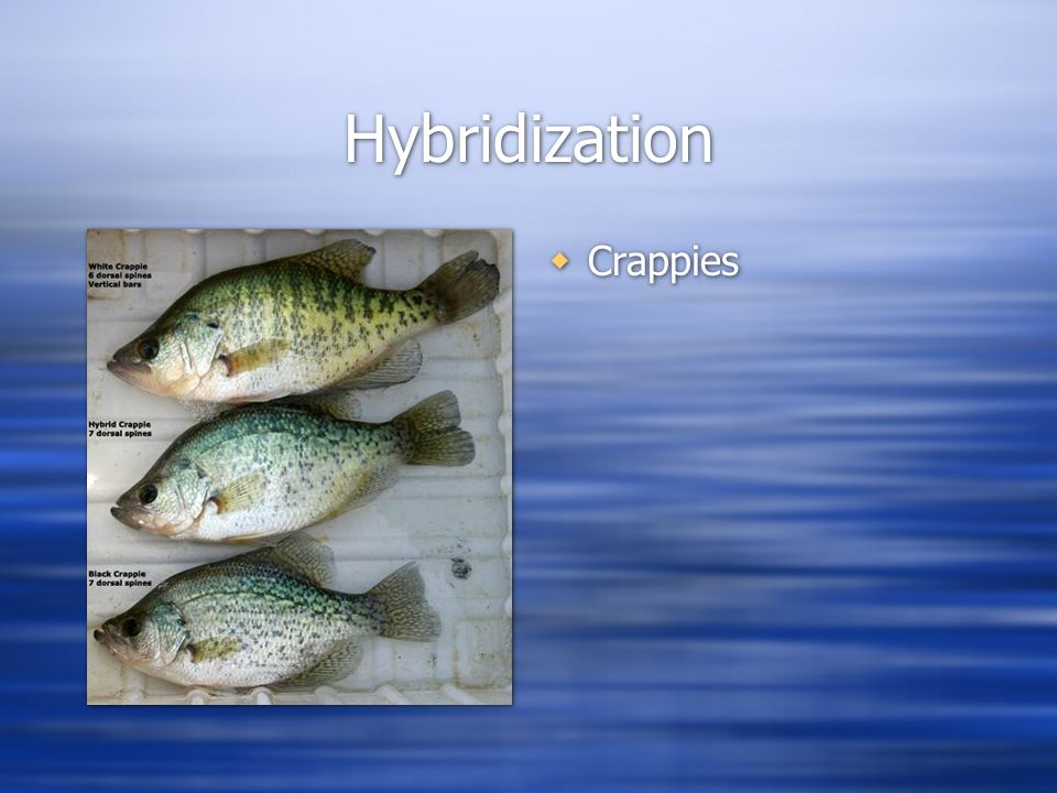 Hybridization  Crappies