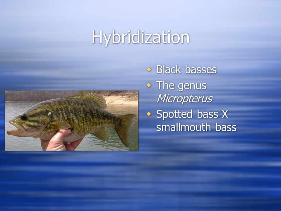 Hybridization  Black basses  The genus Micropterus  Spotted bass X smallmouth bass