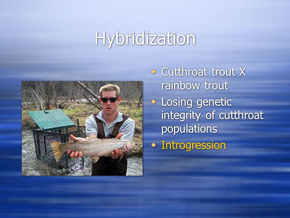 Hybridization  Cutthroat trout X rainbow trout  Losing genetic integrity of cutthroat populations  Introgression