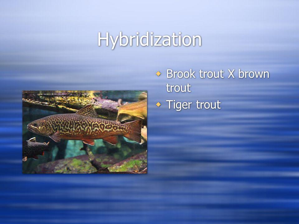 Hybridization  Brook trout X brown trout  Tiger trout
