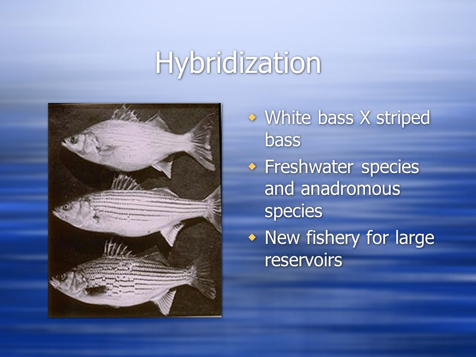 Hybridization  White bass X striped bass  Freshwater species and anadromous species  New fishery for large reservoirs