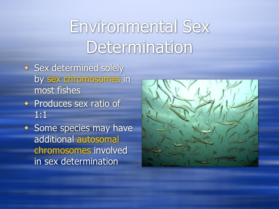 Environmental Sex Determination  Sex determined solely by sex chromosomes in most fishes  Produces sex ratio of 1:1  Some species may have additional autosomal chromosomes involved in sex determination  Sex determined solely by sex chromosomes in most fishes  Produces sex ratio of 1:1  Some species may have additional autosomal chromosomes involved in sex determination