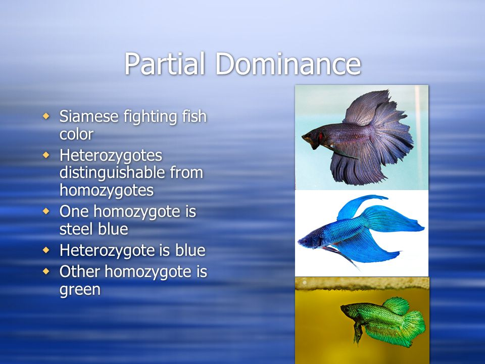 Partial Dominance  Siamese fighting fish color  Heterozygotes distinguishable from homozygotes  One homozygote is steel blue  Heterozygote is blue  Other homozygote is green  Siamese fighting fish color  Heterozygotes distinguishable from homozygotes  One homozygote is steel blue  Heterozygote is blue  Other homozygote is green
