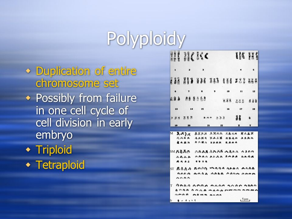 Polyploidy  Duplication of entire chromosome set  Possibly from failure in one cell cycle of cell division in early embryo  Triploid  Tetraploid  Duplication of entire chromosome set  Possibly from failure in one cell cycle of cell division in early embryo  Triploid  Tetraploid