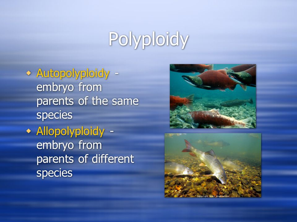 Polyploidy  Species in Salmonidae probably descended from autotetraploid ancestor  Species in Catostomidae probably descended from an allotetraploid ancestor  Species in Salmonidae probably descended from autotetraploid ancestor  Species in Catostomidae probably descended from an allotetraploid ancestor