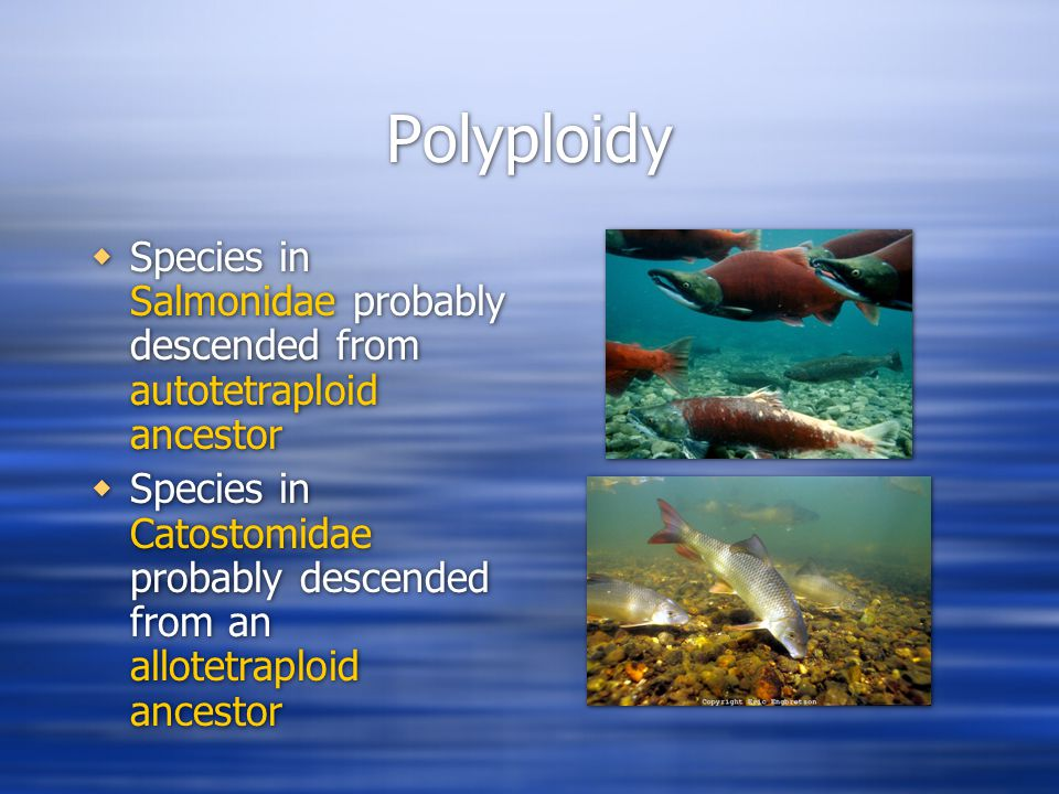 Polyploidy  Species in Salmonidae probably descended from autotetraploid ancestor  Species in Catostomidae probably descended from an allotetraploid ancestor  Species in Salmonidae probably descended from autotetraploid ancestor  Species in Catostomidae probably descended from an allotetraploid ancestor