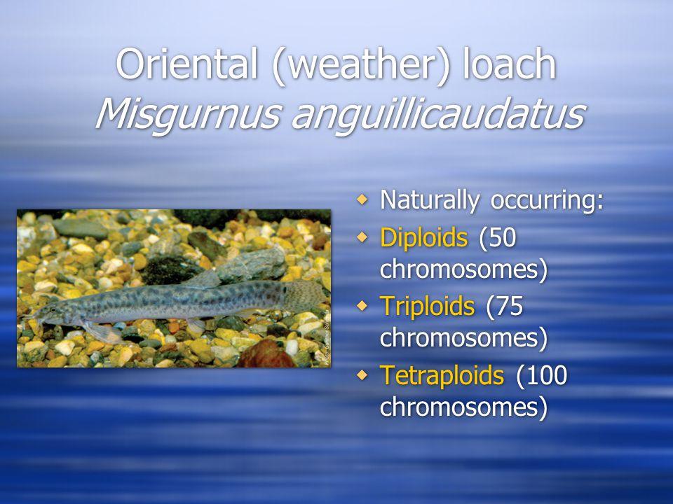 Oriental (weather) loach Misgurnus anguillicaudatus  Naturally occurring:  Diploids (50 chromosomes)  Triploids (75 chromosomes)  Tetraploids (100 chromosomes)