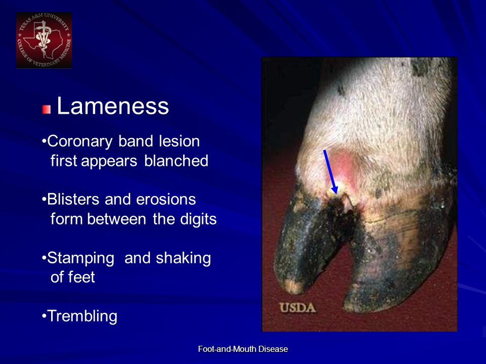 Foot-and-Mouth Disease Lameness Coronary band lesion first appears blanched Blisters and erosions form between the digits Stamping and shaking of feet Trembling