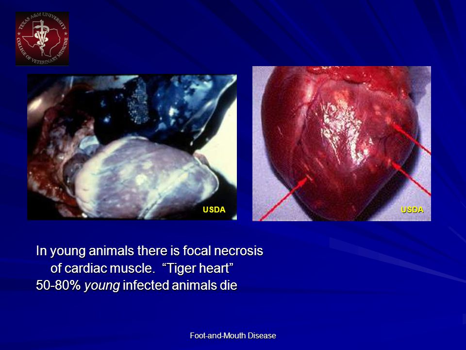 Foot-and-Mouth Disease In young animals there is focal necrosis of cardiac muscle.