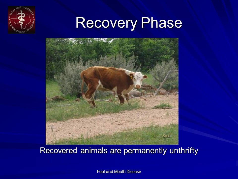 Foot-and-Mouth Disease Recovery Phase Recovered animals are permanently unthrifty