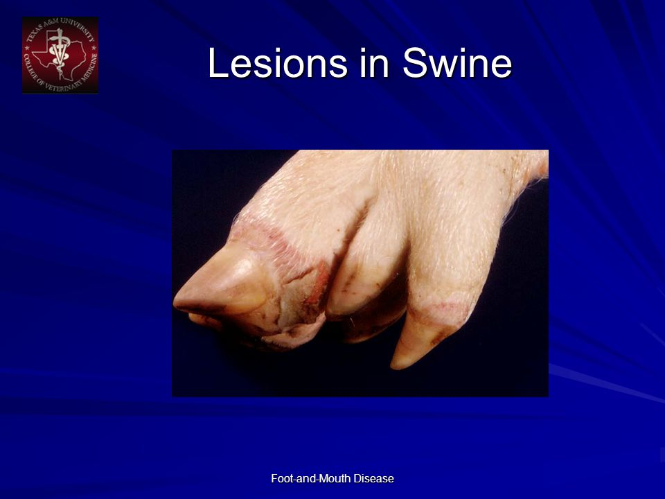 Foot-and-Mouth Disease Lesions in Swine