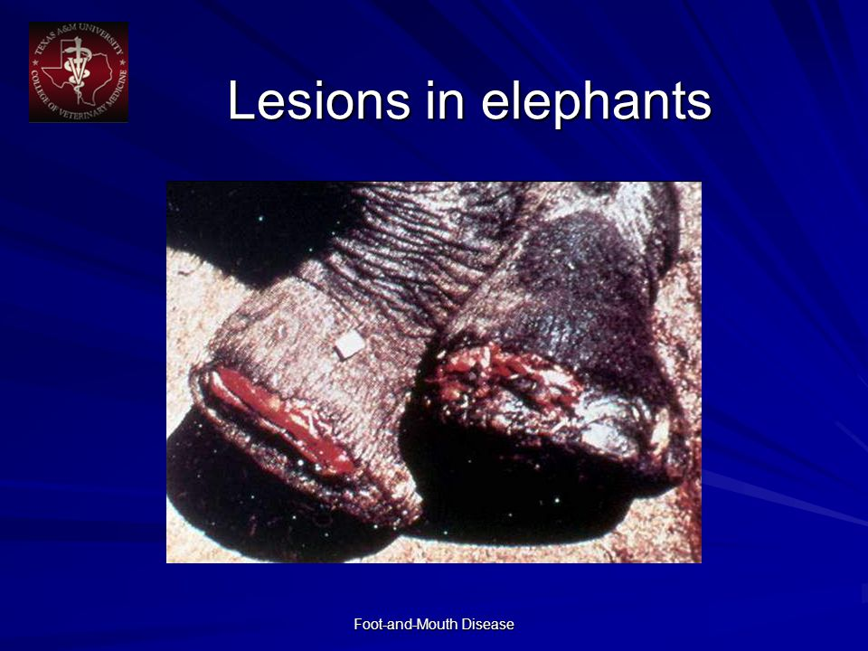 Foot-and-Mouth Disease Lesions in elephants