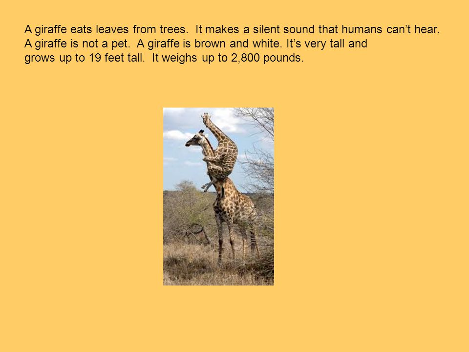 A giraffe eats leaves from trees. It makes a silent sound that humans can't hear. A giraffe is not a pet. A giraffe is brown and white. It's very tall