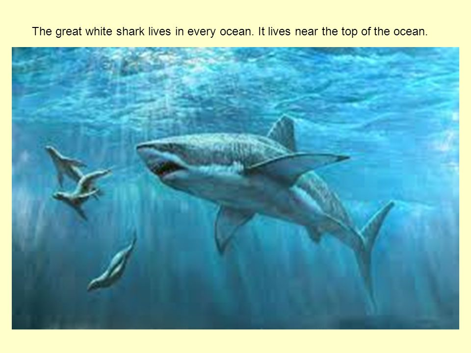 The great white shark lives in every ocean. It lives near the top of the ocean.