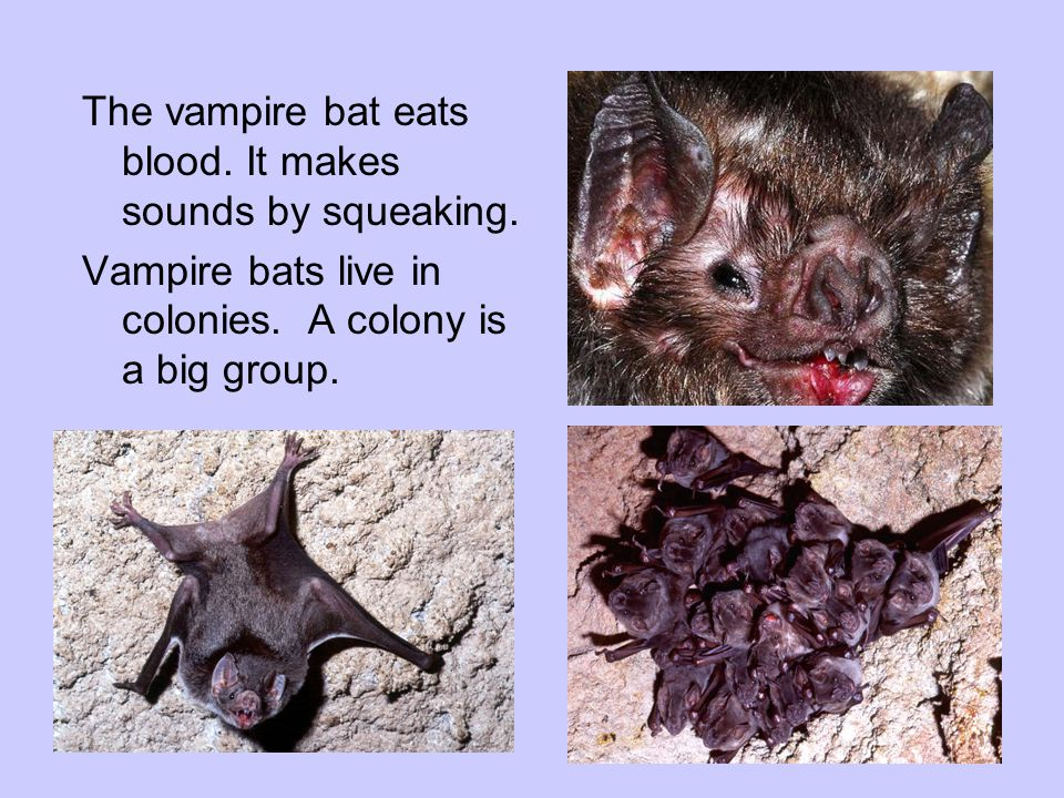 The vampire bat eats blood. It makes sounds by squeaking. Vampire bats live in colonies. A colony is a big group.