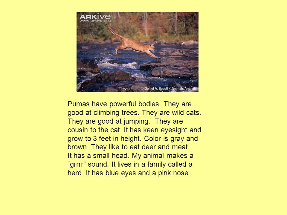 Pumas have powerful bodies. They are good at climbing trees. They are wild cats. They are good at jumping. They are cousin to the cat. It has keen eye