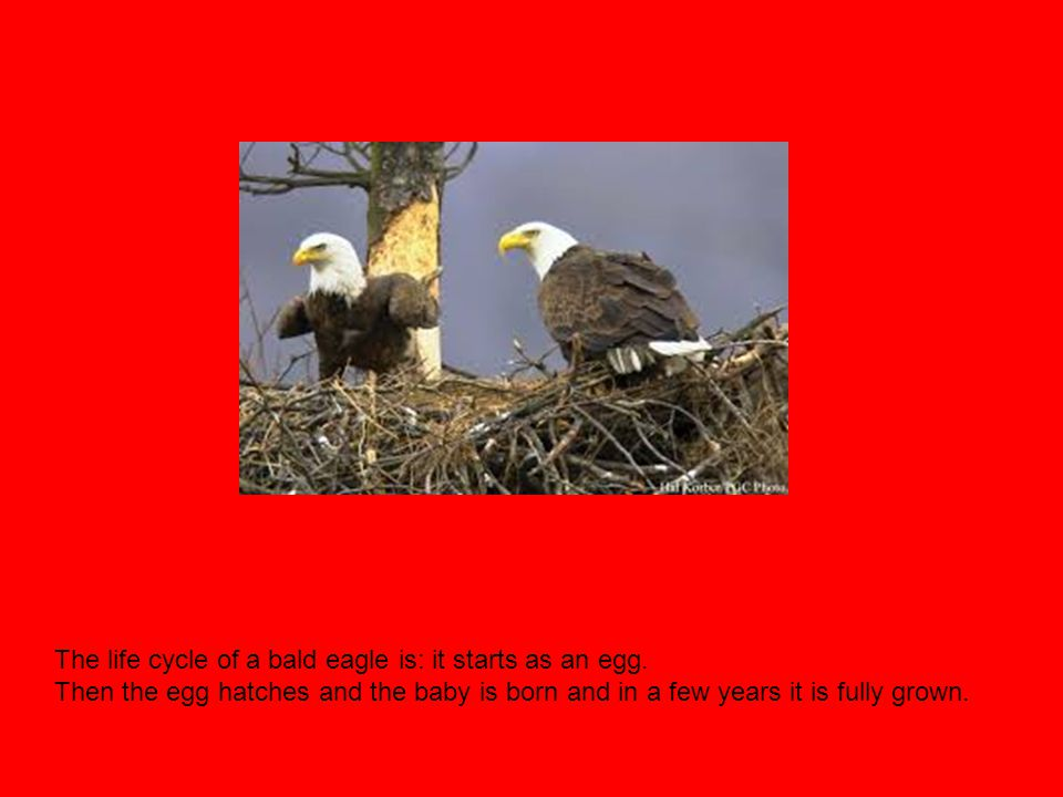 The life cycle of a bald eagle is: it starts as an egg. Then the egg hatches and the baby is born and in a few years it is fully grown.