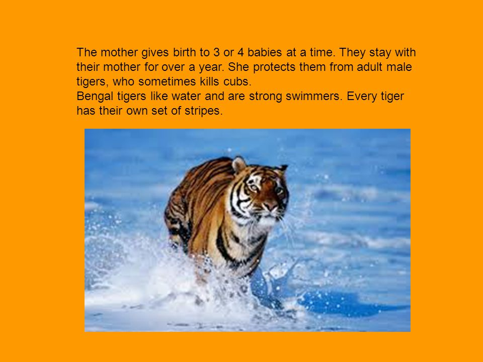 The mother gives birth to 3 or 4 babies at a time. They stay with their mother for over a year. She protects them from adult male tigers, who sometime