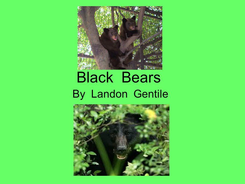 Black Bears By Landon Gentile