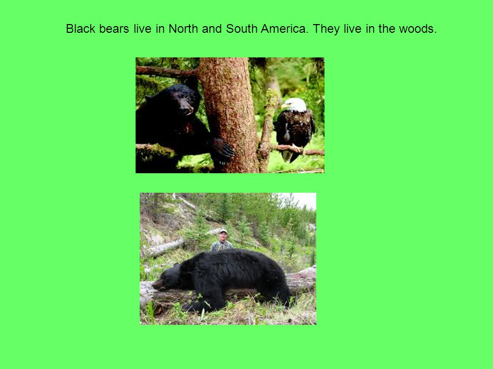 Black bears live in North and South America. They live in the woods.