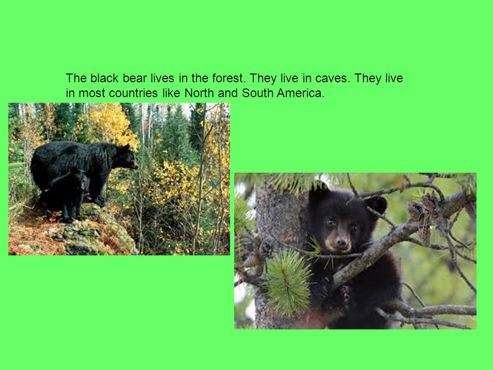 The black bear lives in the forest. They live in caves. They live in most countries like North and South America.