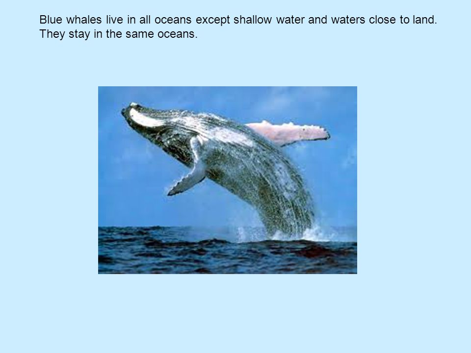 Blue whales live in all oceans except shallow water and waters close to land. They stay in the same oceans.