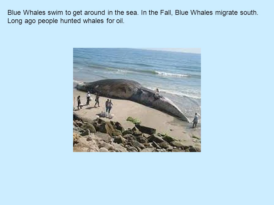 Blue Whales swim to get around in the sea. In the Fall, Blue Whales migrate south. Long ago people hunted whales for oil.
