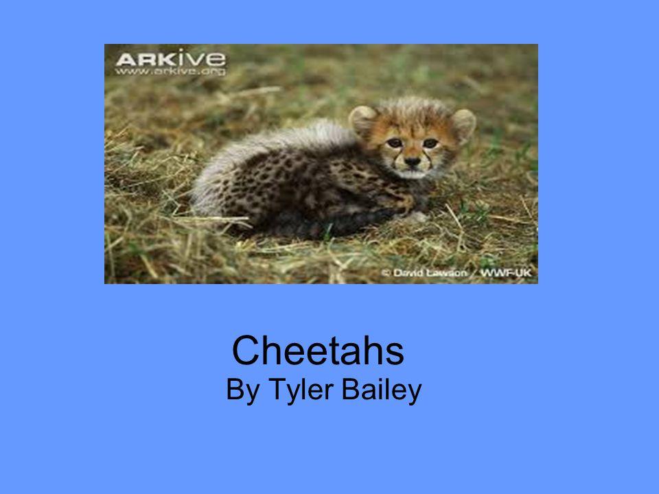 Cheetahs By Tyler Bailey