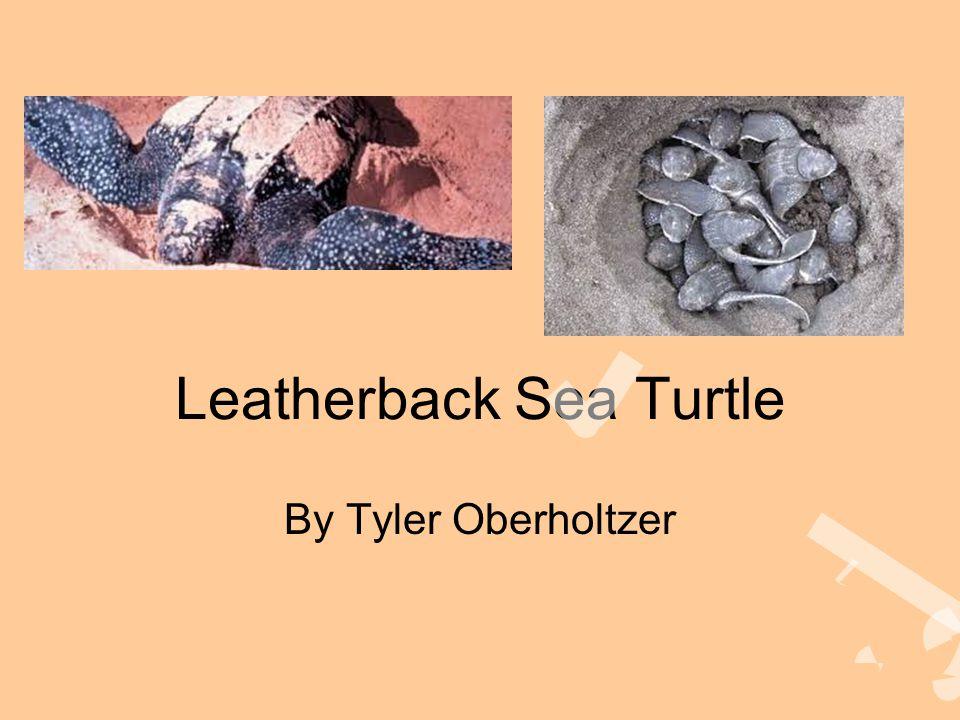 Leatherback Sea Turtle By Tyler Oberholtzer
