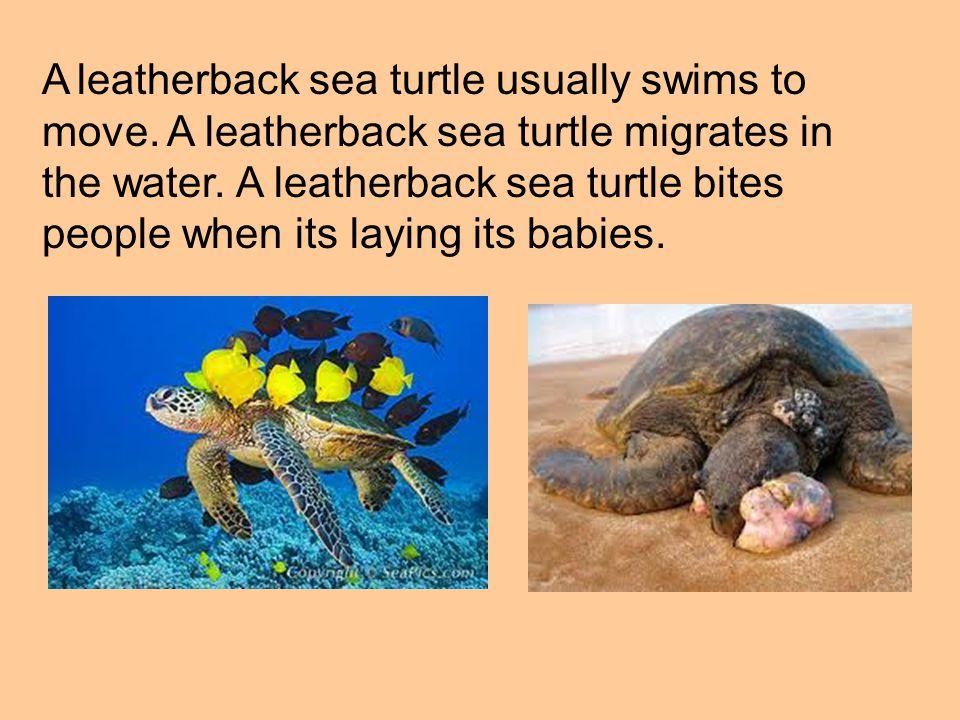 A leatherback sea turtle usually swims to move. A leatherback sea turtle migrates in the water. A leatherback sea turtle bites people when its laying