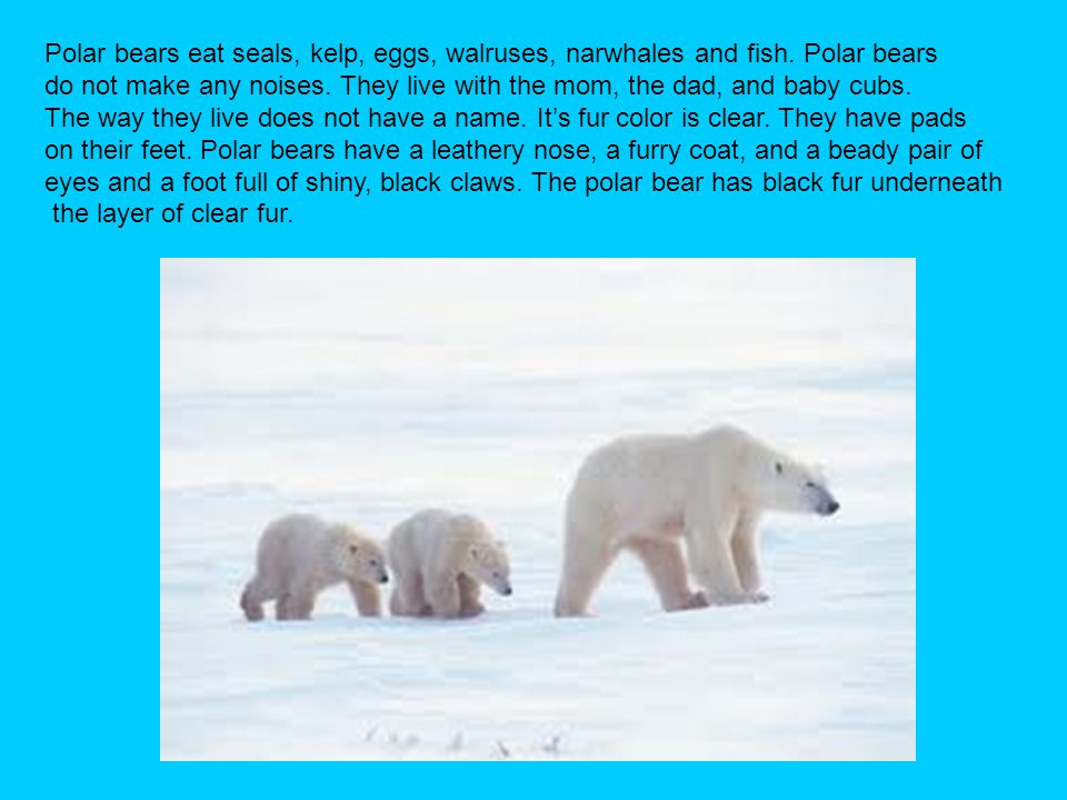 Polar bears eat seals, kelp, eggs, walruses, narwhales and fish. Polar bears do not make any noises. They live with the mom, the dad, and baby cubs. T
