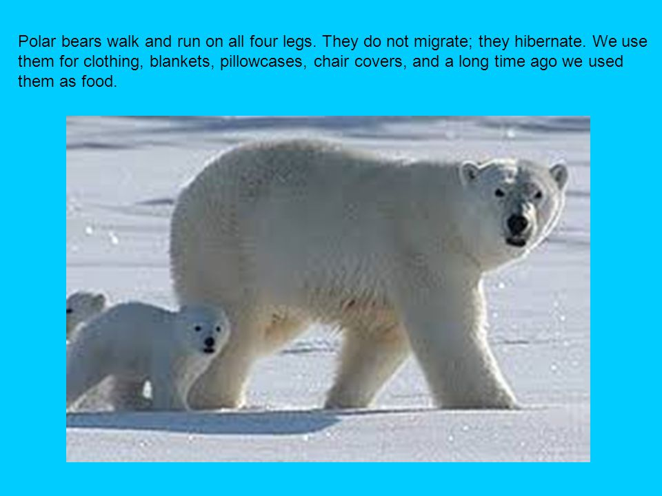 Polar bears walk and run on all four legs. They do not migrate; they hibernate. We use them for clothing, blankets, pillowcases, chair covers, and a l