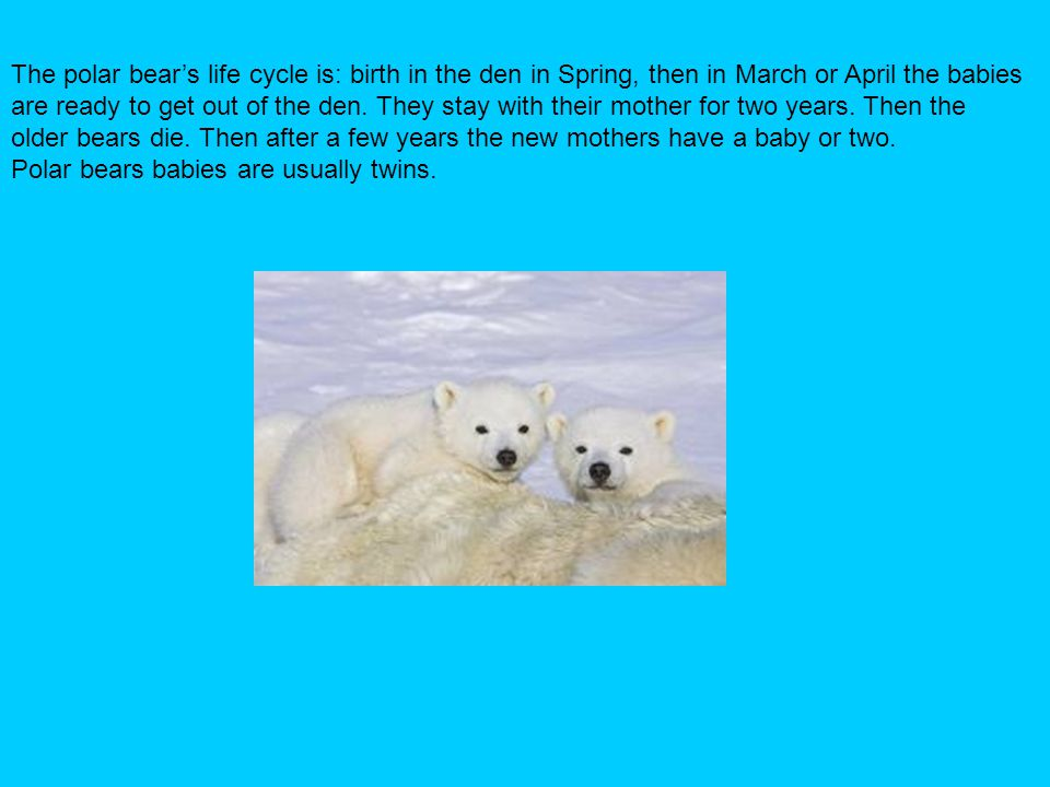 The polar bear's life cycle is: birth in the den in Spring, then in March or April the babies are ready to get out of the den. They stay with their mo