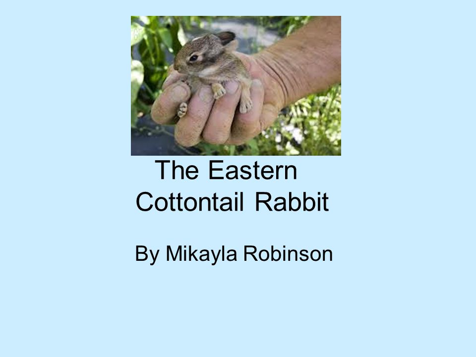 The Eastern Cottontail Rabbit By Mikayla Robinson