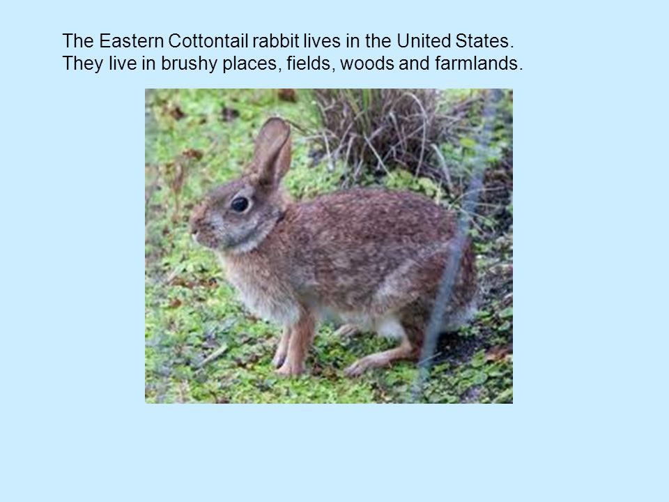 The Eastern Cottontail rabbit lives in the United States. They live in brushy places, fields, woods and farmlands.