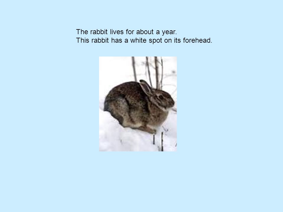 The rabbit lives for about a year. This rabbit has a white spot on its forehead.