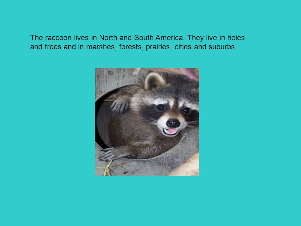 The raccoon lives in North and South America. They live in holes and trees and in marshes, forests, prairies, cities and suburbs.