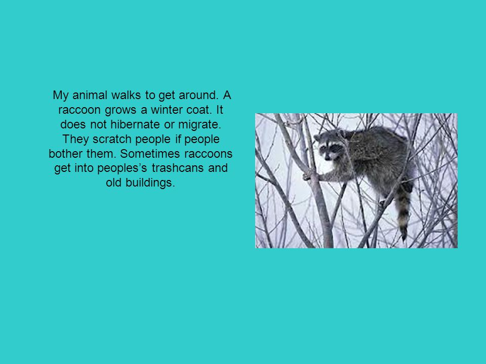 My animal walks to get around. A raccoon grows a winter coat. It does not hibernate or migrate. They scratch people if people bother them. Sometimes r