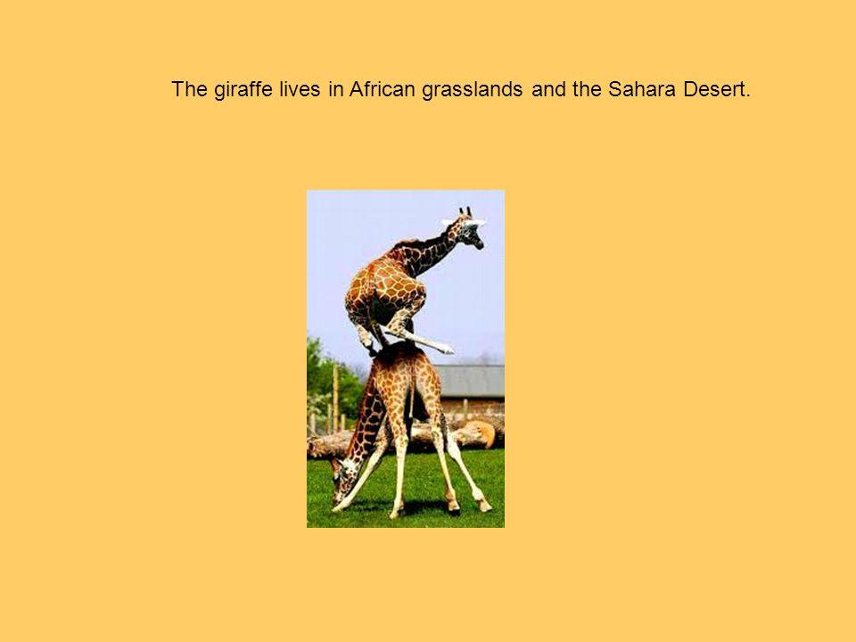 The giraffe lives in African grasslands and the Sahara Desert.