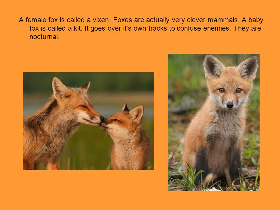 A female fox is called a vixen. Foxes are actually very clever mammals. A baby fox is called a kit. It goes over it's own tracks to confuse enemies. T