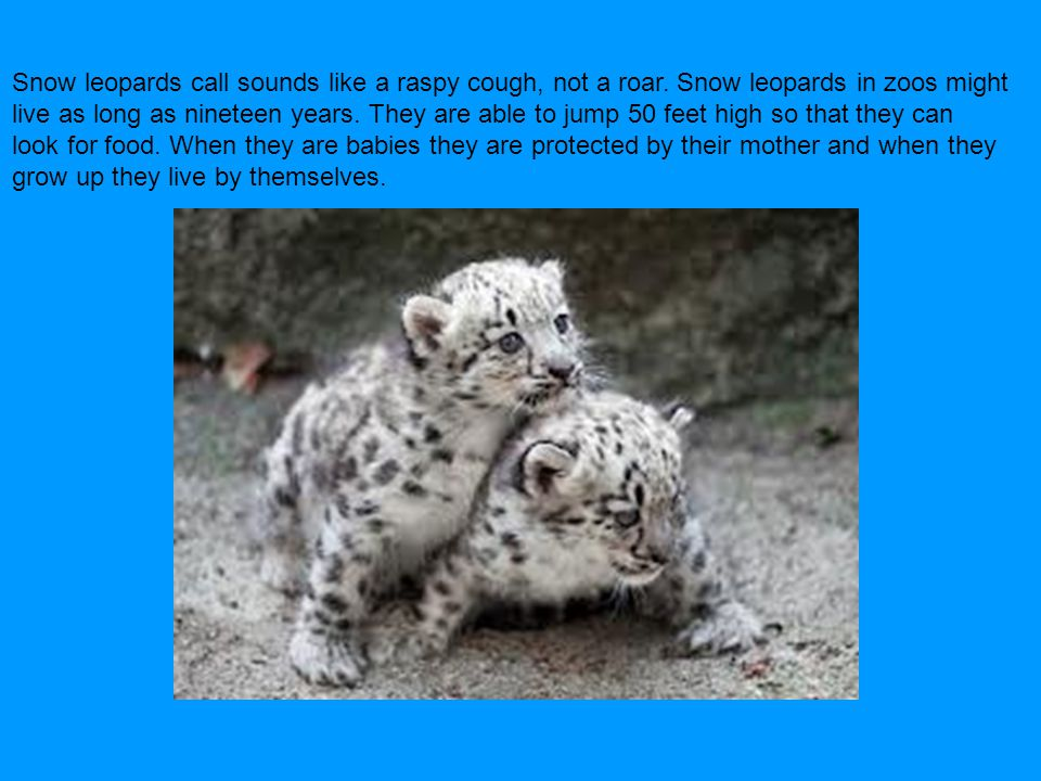 Snow leopards call sounds like a raspy cough, not a roar. Snow leopards in zoos might live as long as nineteen years. They are able to jump 50 feet hi