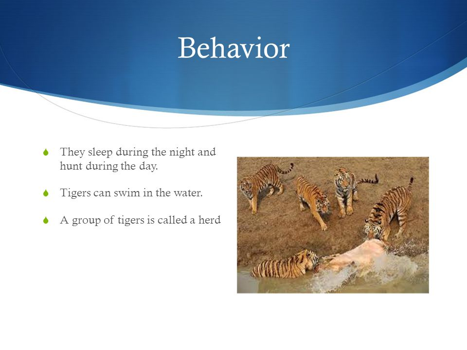 Interesting facts  The tigers fast legs helps it catch it's prey while it is hiding.