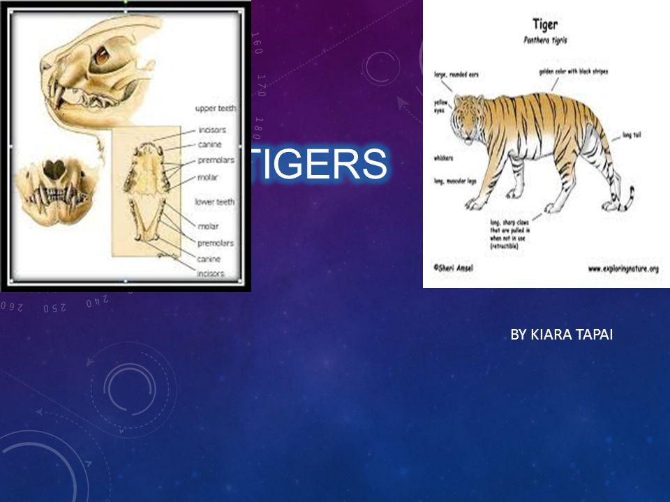 QUIZ 1 How many strips does a tiger have.A: 55 B: 37 C: 82 How long are the 4 big tiger teeth.