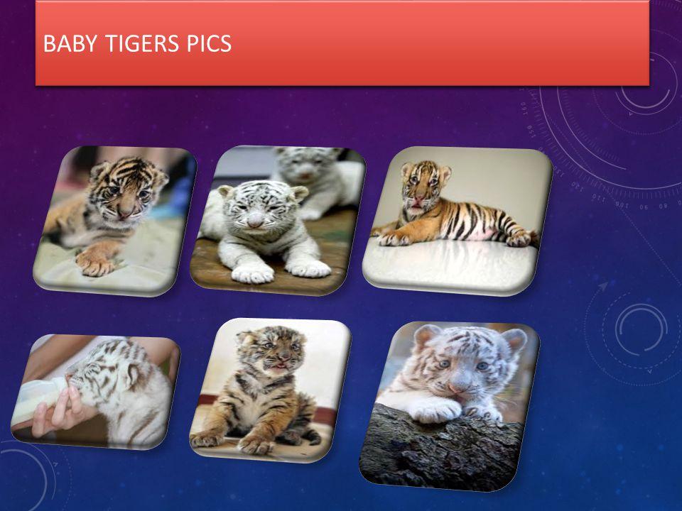 BABY TIGERS PICS