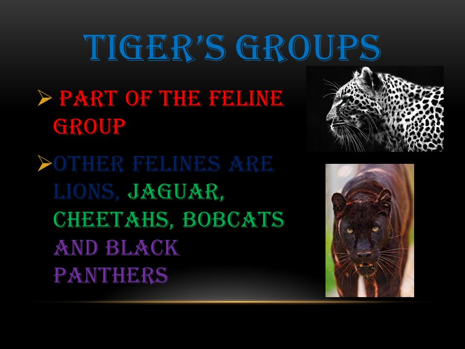 PART OF THE feline GROUP  Other felines are lions, jaguar, cheetahs, bobcats and black panthers TIGER'S GROUPS