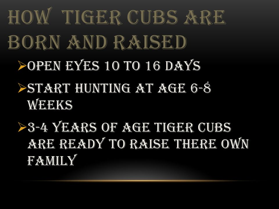 HOW TIGER CUBS ARE BORN AND RAISED  Open eyes 10 to 16 days  Start hunting at age 6-8 weeks  3-4 years of age tiger cubs are ready to raise there oWN family