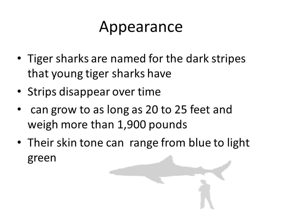 Appearance Tiger sharks are named for the dark stripes that young tiger sharks have Strips disappear over time can grow to as long as 20 to 25 feet and weigh more than 1,900 pounds Their skin tone can range from blue to light green