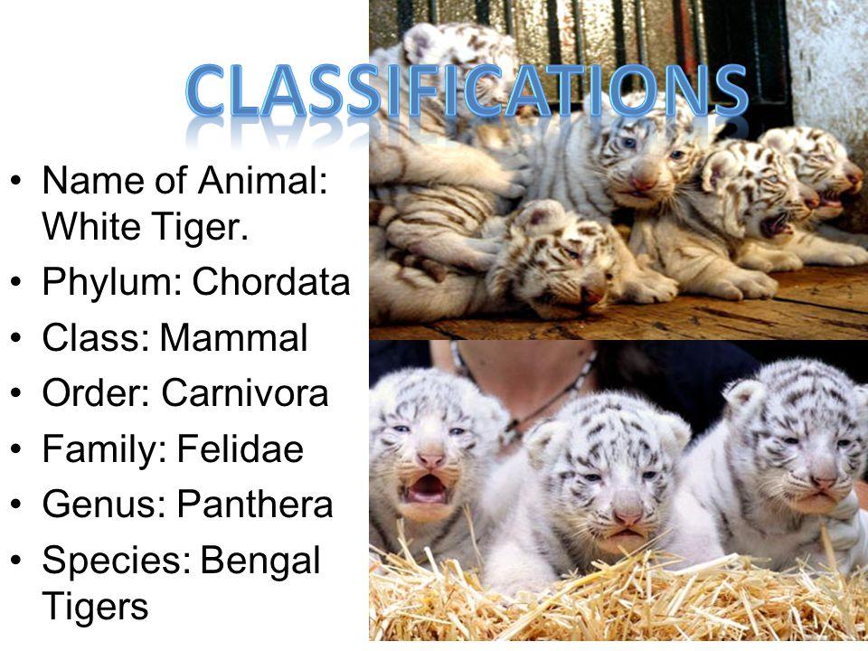 Name of Animal: White Tiger. Phylum: Chordata Class: Mammal Order: Carnivora Family: Felidae Genus: Panthera Species: Bengal Tigers