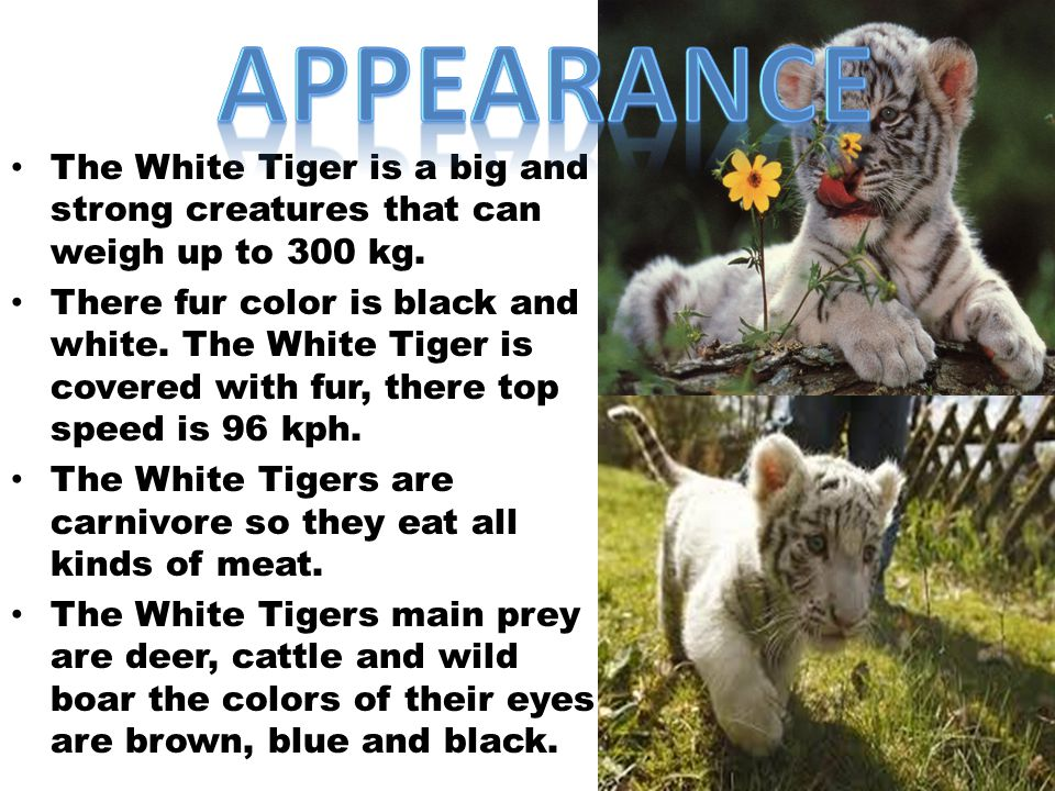 The white tiger are found in a variety of habitat including dense jungle and mangrove swamp.