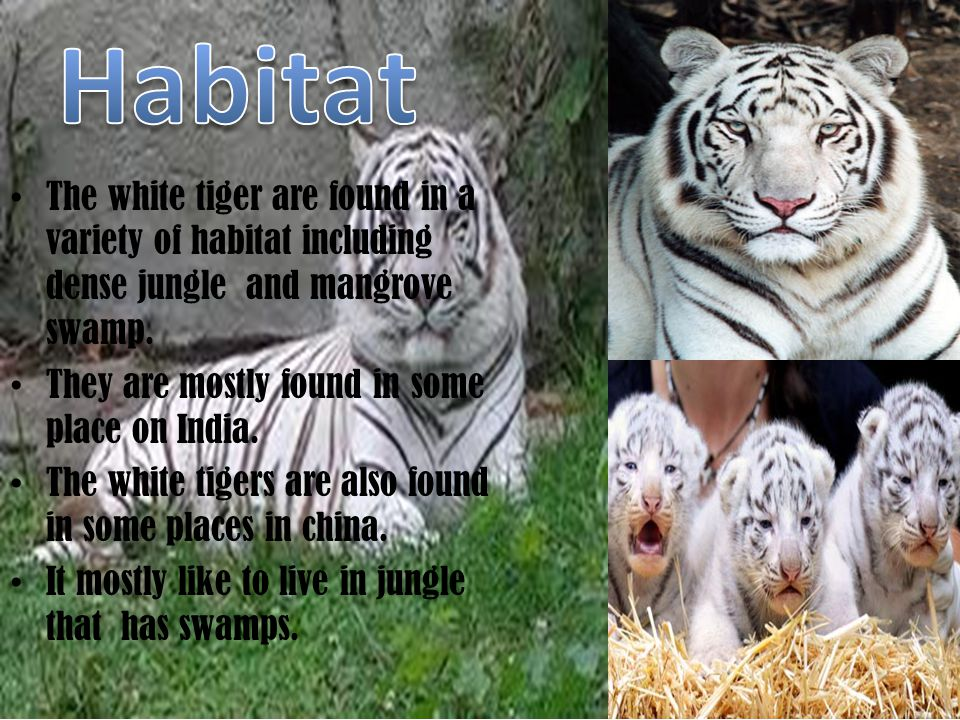 The White Tiger are solitary animals.